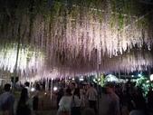 足利紫藤花園:IMG20190511191521.jpg