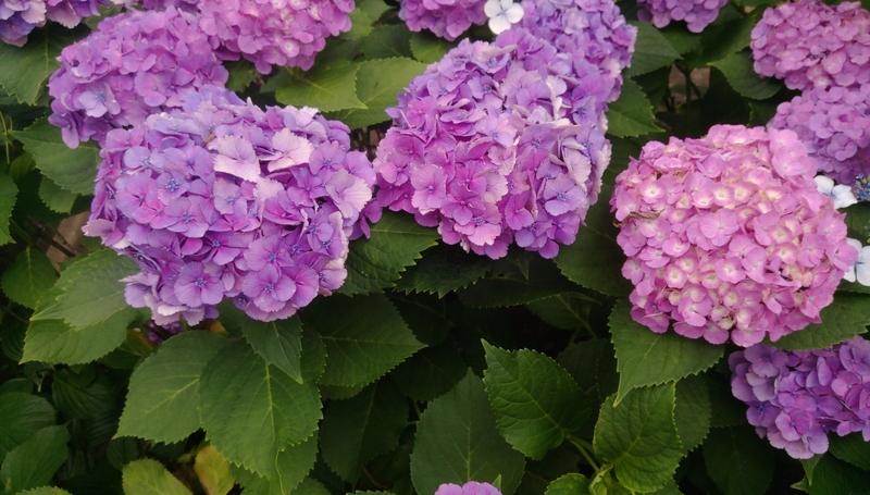 東京紫陽花:IMAG1479.jpg