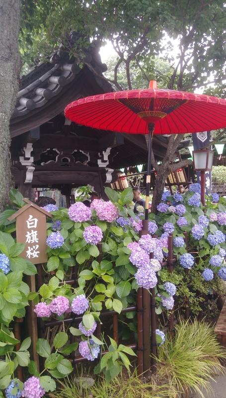 東京紫陽花:IMAG1499.jpg