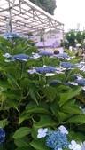東京紫陽花:IMAG1460.jpg