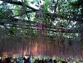 足利紫藤花園:IMG20190511182458.jpg