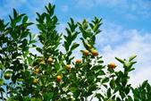花卉植物:安般禪園的金桔.JPG