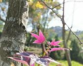 花卉植物:安般禪園的楓香01.jpg