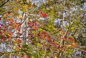 花卉植物:25640210安般禪園的楓香_5.jpg