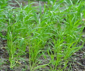 花卉植物:25640525安般禪園五色鳥青年團種植的空心菜-1.jpg