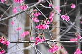 花卉植物:25640202圓覺道場的櫻花_04.JPG