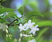 花卉植物:總院的香水梅.jpg