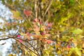 花卉植物:安般禪園的楓香