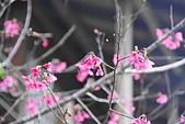 花卉植物:25640202圓覺道場的櫻花_05.JPG