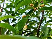 花卉植物:安般禪園的人心果花.jpg