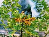 花卉植物:安般禪園的鵝掌藤.jpg