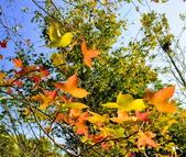 花卉植物:安般禪園的楓香.jpg