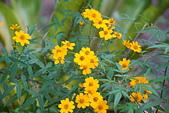 花卉植物:25640202圓覺道場的芳香萬壽菊.jpg