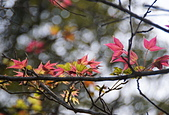 花卉植物:25640210安般禪園的楓香_2.jpg