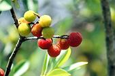 花卉植物:止觀禪園的楊梅-2.jpg