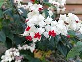 花卉植物:安般禪園的龍吐珠.jpg