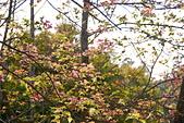 花卉植物:25640210安般禪園的楓香_3.jpg