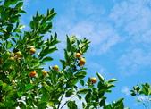 花卉植物:安般禪園的金桔01.jpg