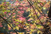 花卉植物:25640210安般禪園的楓香_4.jpg