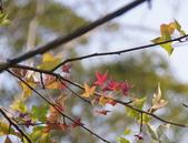 花卉植物:25640210安般禪園的楓香_6.jpg