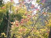 花卉植物:25640210安般禪園的楓香_9.jpg