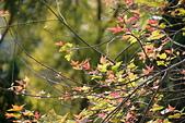 花卉植物:25640210安般禪園的楓香_1.jpg