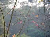 花卉植物:25640210安般禪園的楓香_8.jpg