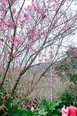 110年2月14日【花蓮】探訪樹湖櫻花:_1070050.jpg