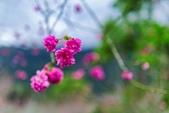 110年2月14日【花蓮】探訪樹湖櫻花:_1070060.jpg