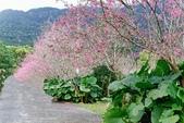 110年2月14日【花蓮】探訪樹湖櫻花:_1070049.jpg