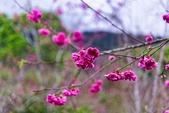 110年2月14日【花蓮】探訪樹湖櫻花:_1070059.jpg