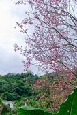 110年2月14日【花蓮】探訪樹湖櫻花:_1070051.jpg
