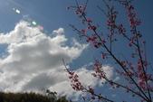 影子髓手拍:2013新春新社賞櫻花 (13).JPG
