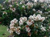 在地ㄟ台灣花:石斑木@蘇澳