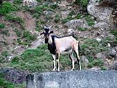 蘭嶼之風景人文篇:以及不同品種的羊
