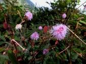 在地ㄟ台灣花:含羞草@南澳