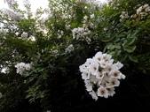 在地ㄟ台灣花:薔-多花薔薇@植物園