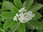 在地ㄟ台灣花:白水木@蘇澳