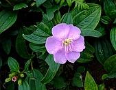 在地ㄟ台灣花:野牡丹(毛稔)@蘭嶼