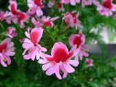 在地ㄟ台灣花:蝴蝶花@五結