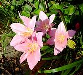 在地ㄟ台灣花:韭蘭@五結 (白色為蔥蘭)