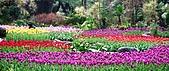 在地ㄟ台灣花:Tulip@桃源仙谷