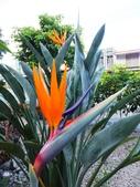 在地ㄟ台灣花:天堂鳥@南澳