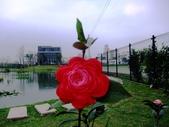 在地ㄟ台灣花:玫瑰@五結