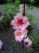 在地ㄟ台灣花:玫瑰香水桃@五結