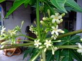 在地ㄟ台灣花:木瓜@仁山苗圃