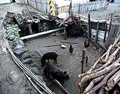 蘭嶼之風景人文篇:地下豬眷~ 豬雞同籠和樂融融