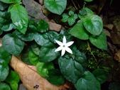 在地ㄟ台灣花:苞花蔓@滿月圓(花5 6瓣)