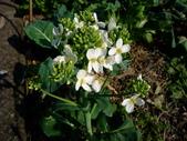 在地ㄟ台灣花:芥藍菜花@冬山河