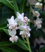 在地ㄟ台灣花:糖棉@士林